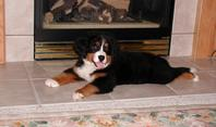 cute berner puppy stretched out in front of the fireplace.