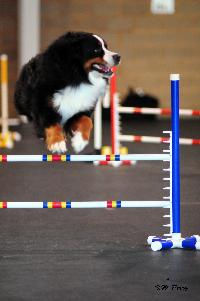 Photo of bernese mountain dog named Albireo clearing a 20 inch high jump at an agility trial