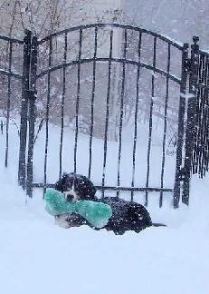 a snowstorm scene showing Mintaka, a berner holding huge green stuffed toy and resting in front of the garden gate