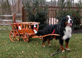 "berner named ""Albie"" pulling his replica antique hay wagon"