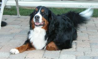 wookie, beautiful girl bernese resting on the patio