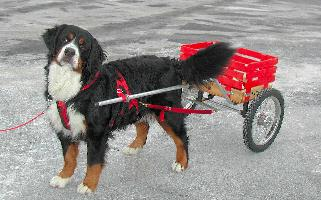 Cody, a happy berner pulling a small red cart