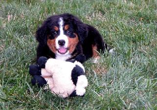 picture of little berner puppy, Mintaka at 8 weeks old. playing with her stuffed toy.