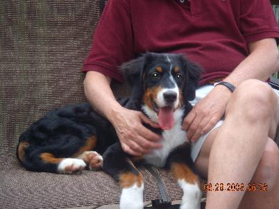 "picture of berner puppy named ""Rigel"" sitting with new owner."