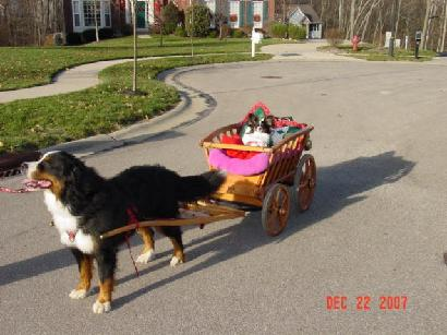 berner named Albie giving Papillion named Willie a ride in the wagon