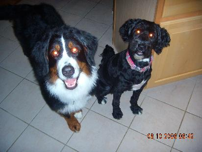 "photo of berner named ""Nexi"" and her friend, Penelope, a Portugese Water Dog"
