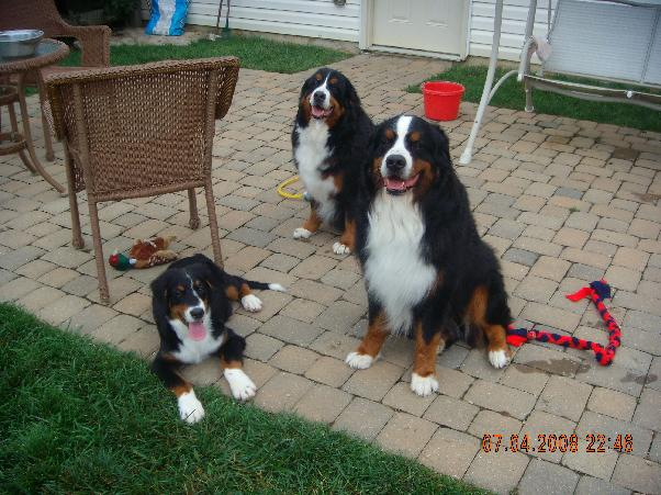 photo of 3 berners sitting on patio, Rigel, Wookie, and Albie